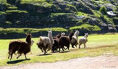 Alpacas on the Run  (Explored) (cheryl strahl) Tags: peru cusco sacsayhuaman inca fortress megalithic stone monument alpaca running saqsaywaman explored