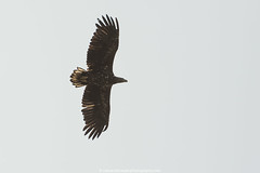 Zeearend (White Tailed Eagle)-2 (robvanderwaal) Tags: bird nature netherlands birds inflight nederland vogels natuur birdofprey vogel biesbosch bif zeearend 2016 roofvogel roofvogels whitetailedeagle haliaeetusalbicilla invlucht rvdwaal robvanderwaalphotographycom