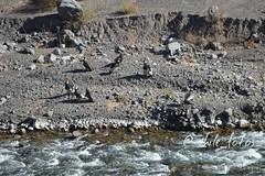 Condores a orillas del Ro Yeso, camino al Embalse El Yeso #chile #thisischile #travel #nature #cajondelmaipo #visitchile #condor (@chile_fotos) Tags: chile travel nature condor cajondelmaipo visitchile thisischile