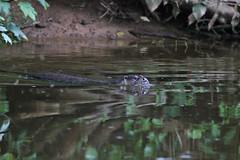 European Otter, Lutra lutra (12) (Geckoo76) Tags: otter lutralutra europeanotter
