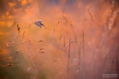 Premire chaleur (Tintin44 - Sylvain Masson) Tags: argus butterfly champ couchant sunset chaleur gramine k3 papillon pentax soleil tamron90 t