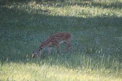 IMG_9148 (thinktank8326) Tags: nature wildlife deer spots fawn whitetaileddeer babyanimal