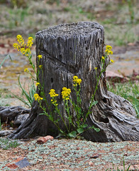 Rebirth and Renewal (Circled Thrice) Tags: statepark flowers tree yellow canon eos rebel colorado sigma stump co wildflowers t3i castlewoodcanyon
