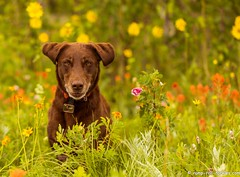 I can't help myself (KB RRR) Tags: dog nature colorado rockymountains wildflowers frontrange chocolatelabrador shyla