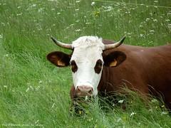T'as d'beaux yeux, tu sais...... (brigeham34) Tags: rando cheminsdecompostelle viapodiensis gr65 saugueslesauvage campagne pture vache raceabondance chazeaux hauteloire auvergne france fz45 eu