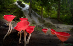 / Fungi cup /  Cookeina sulcipes (bug eye :) Thailand) Tags: mushroom fungi forest rainforest tropical oriental baotongwaterfall red chiangmai thailand bambgraphy canon
