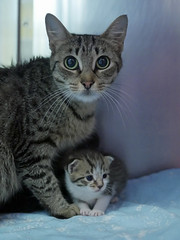 Mama & Babies_02 (AbbyB.) Tags: mtpleasantanimalshelter easthanovernj newjersey shelter pet rescue adopt petphotography shelterpet cat kitten momandkittens babies kitty