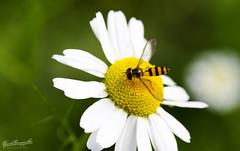 Flowers and... (jonikauppila) Tags: flower kukka bug tkk nature luonto suomi finland lohja summer kes