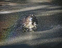 Hawk taking a shower (Goggla) Tags: nyc new york manhattan east village tompkins square park urban wildlife bird raptor red tail hawk fledgling juvenile bath bathing shower sprinkler rainbow goglog