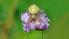 Orb weaver Spider ?? (jaytee27) Tags: orbweaverspider naturethroughthelens