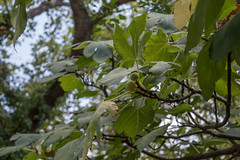(Psinthos.Net) Tags:  psinthos nature   countryside valley psinthosvalley      noon autumn summer    planetrees tree  leaves treebranches  planetree  wildivy figtree   figs whitefigs    fruits   branches figleaves   light shadow  sky bluesky      vrisi vrisiarea vrisipsinthos moula