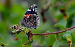 Red Admiral, BC, Canada (vietnamvera) Tags: canadianbutterflies butterfliesofcanada canadianlepidoptera canadaflorafauna canadianrockies canadianrockymountains