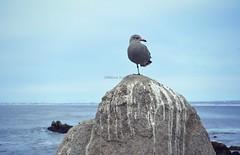 Pacific Grove seagull 2 (Helene Iracane) Tags: fauna pacific grove birds bird gull seagull mouette mouettes seagulls gulls feather feathers grey gris gray usa californie california rocher rochers rock rocks sea ocean
