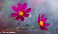 grey life , but full of shades.... (frederic.gombert) Tags: flower flowers light sun sunlight red yellow pink floral green grey color greatphotographers nikon d800 macro macrodreams