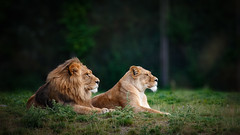 Pairi Daisa - Couple royal (sdejongh) Tags: animal couple daisa ensemble far gaze lion lionne look nature pairi sight together canon eos70d