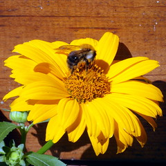 july lunch (kexi) Tags: bee yellow flower square gniazdowo poland polska july 2015 samsung wb690 instantfave