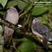 Short-billed Pigeon, Patagioenas nigrirostris