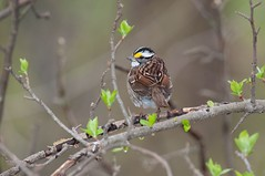 2016 White-throated Sparrow (DrLensCap) Tags: whitethroated sparrow montrose point bird sanctuary chicago illinois il robert kramer