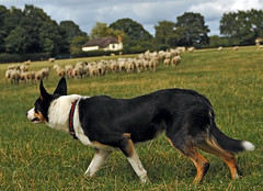 Mac working in rural Cheshire (A child in the night) Tags: cheshire mac rural bordercollie sheepdog farm working sheep countryside summer