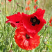 Lossiemouth Poppies 02