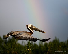 Brown Pelican (Danielirons02) Tags: nikond610 nikontc14 nikon300mmf4 brownpelican maryland somersetcountymd