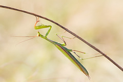 Ascention (Florian Commaret) Tags: insecte bug bugs insect nature macro herb mantis mante religieuse vert green