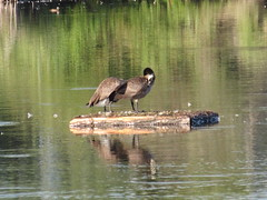 Geese Preening (jamica1) Tags: munson pond park kelowna okanagan bc british columbia canada bird geese raft