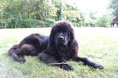 Sticklove (Chum's mum) Tags: newfoundland puppy blackdog leia newf newfie flopsy newfy mooncusser