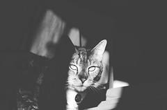 Shadows (moke076) Tags: light portrait bw pet face animal cat pose dark grey eyes nikon shadows tabby gray kitty tommy d7000