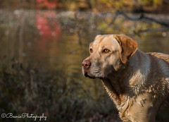 Bohdi (Beenie Photography) Tags: park autumn dog pet reflection colors puppy photography pond lab labrador state retriever pooch lums
