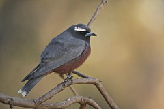 IMG_2200 White-browed Woodswallow (copsychus) Tags: bird birds australia canberra act 2014 campbellpark whitebrowedwoodswallow