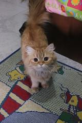 my cat (hsam_32) Tags: pet cats pets eye beautiful animals cat persian eyes egypt adorable kitty kittens persiancat
