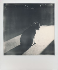 Diana (gambajo) Tags: light shadow bw contrast analog cat project polaroid sx70 kitten kitty instant impossible impossibleproject