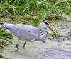 Grey Heron catching fish !  Ferry Meadows- Nene Park  21/11/14 (johnatkins2008) Tags: feeding wildlife peterborough cambridgeshire ferrymeadows fisheating greyheron wadingbirds nenepark catchingfish johnatkins2008