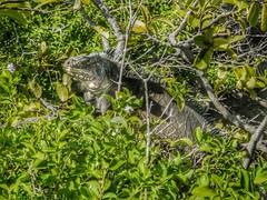 Iguane sur Petite Terre au large de la Guadeloupe (F) (Annelise LE BIAN) Tags: france closeup vert animaux reptiles guadeloupe antilles caraïbes petiteterre iguanes alittlebeauty