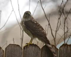 Cooper's on the Fence (steven_and_haley_bach) Tags: brown bird yard cloudy feeder coopershawk accipitercooperii