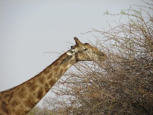 Girafe, Etosha, Namibie