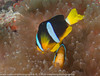 Amphiprion clarkii - poisson-clown de Clark - Clark's anemonefish 04.jpg