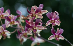 Image_15 (anne_dietel) Tags: flowers orchid nature thailand asia bangkok phalaenopsis dendrobium orchidee dendrobiumphalaenopsis