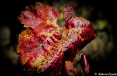C'est La Vie [Explored 12/1/15] (_Natasa_) Tags: trip travel autumn red macro art nature closeup canon leaf colours dof bokeh serbia list srbija jesen canonef50mmf18ii canoneos600d natasaopacic natasaopacicphotography