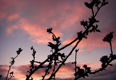 Blooming at sunset (mj.cs) Tags: sunset flores tree floral atardecer bloom puestadesol appletree manzanos floracin