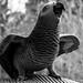 African Grey Parrot portrait shot