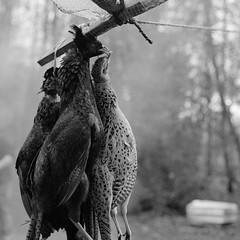 Surrey Shoot. (TM) Tags: uk bird texture film 35mm canon dead woods gun shoot pheasant ae1 smoke feathers surrey hanging shooting shotgun pheasants