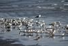 عائلة كبيرة - Big family (! FOX) Tags: family bird birds canon big seagull fox yemen seabirds aden lightroom أحمد احمد طير طيور رمال نورس رمل اليمن طائر تنتظر عدن النورس طلعه canon7d canoneso7d al5ain
