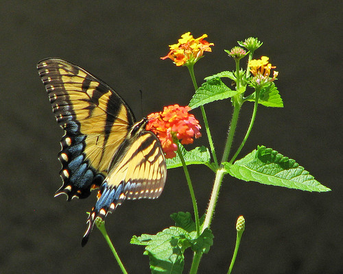 eastern Tiger on lantana