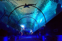 Shark's tunnel (Kataaku) Tags: fish france animal animals aquarium shark photo reflex nikon photographie caroline tunnel requin animales animaux antibes animale marineland animalia 2015 catenacci animalier squale animalire d3100 kataku kataaku