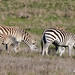 plains zebras, with foal in front of mother at left
