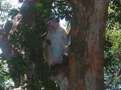 Toque Macaque Yala