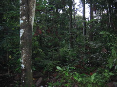 Dense Forest of Ganung Palung