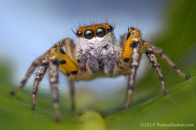 Freya sp. (F. maculatipes?) Male Jumping Spider - Belize